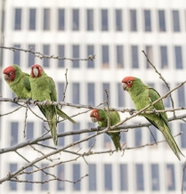 Why I love the feral parakeets of London